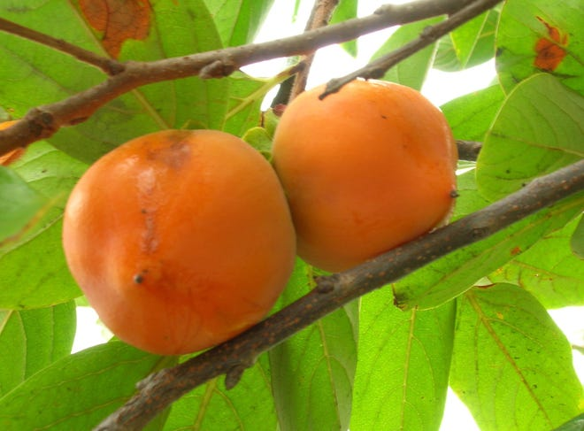 American persimmons (Diospyros virginiana) are native to the United States, but produce small, astringent fruit.