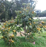 Ichi-Ki-Kei-Jiro is a non-astringent Asian persimmon that is great for small spaces.