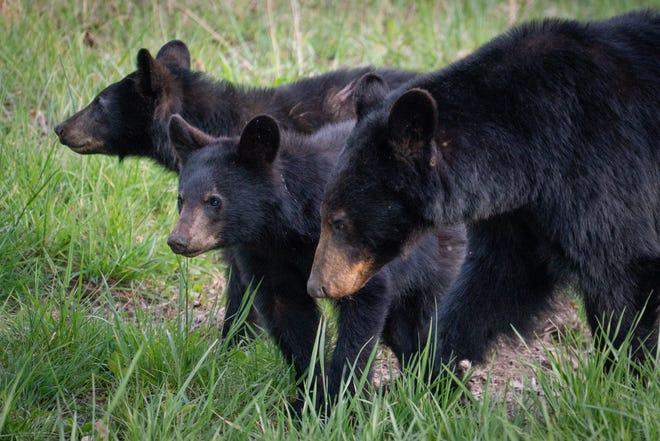 A family of black bears.