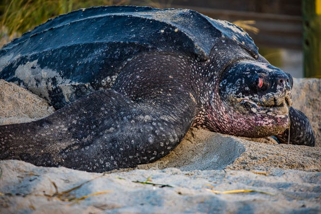 An 800-pound leatherback sea turtle nests Thursday morning near the Indialantic Boardwalk by Fifth Avenue.