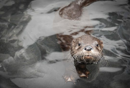 The Texas State Aquarium welcomed a baby North American River otter on Wednesday, May 21. The aquarium showcased the new animal on Facebook live Thursday morning.