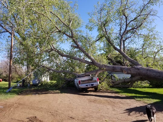 A fallen tree crushes a car after a wind storm in McCone County.