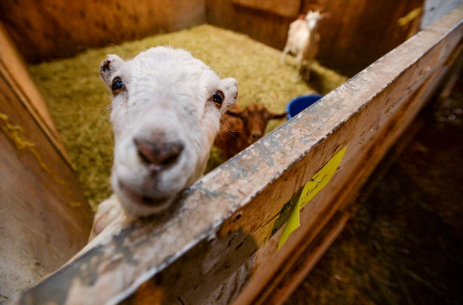 Goats are some of the 176 animals seized from Pamela Jo Polejewski, who has been charged with animal cruelty.  The Cascade County Sheriff's Office is providing care for the animals, which are now considered evidence in the counties case against Polejewski.