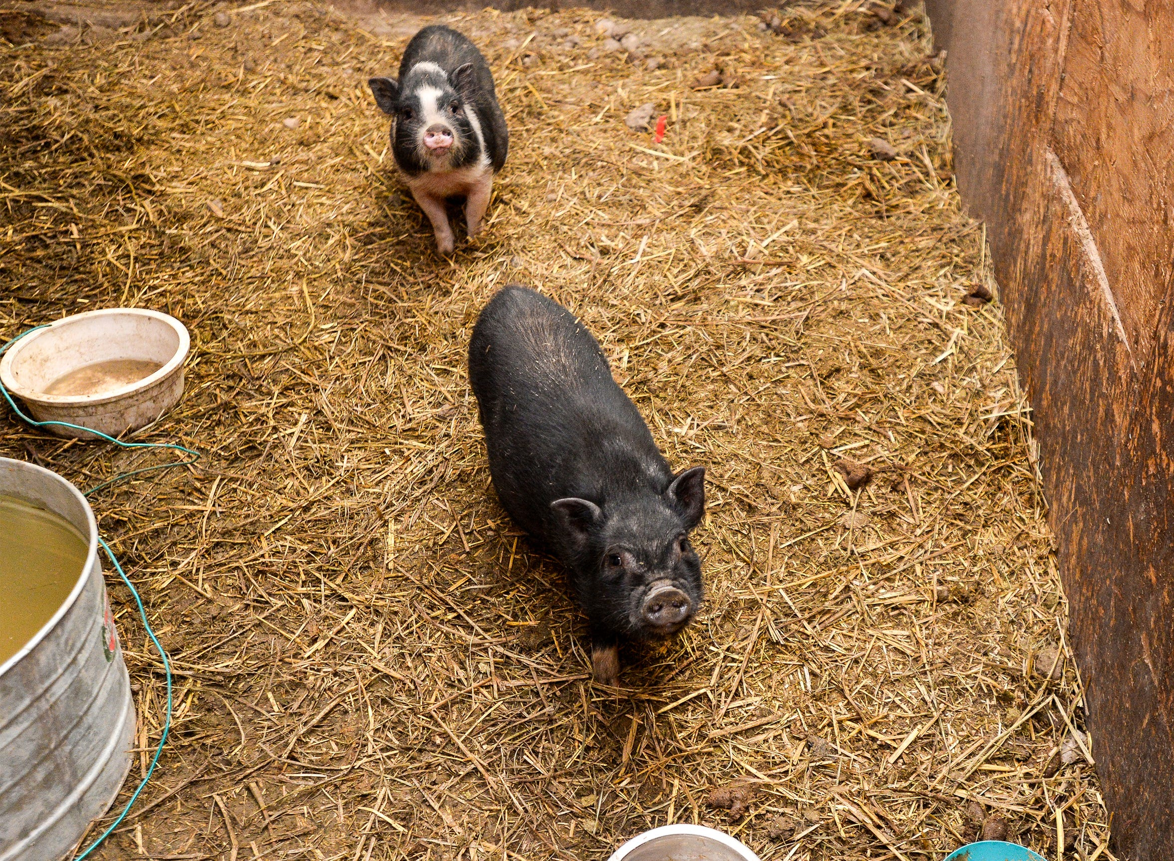 Pot-bellied pigs are some of the 176 animals seized from Pamela Jo Polejewski, who has been charged with animal cruelty.