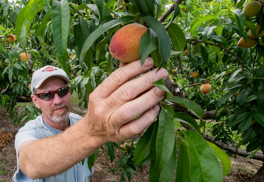 Farmer Keith Wise shows some of his Chilton County peaches on his farm near Clanton, Ala., on Wednesday May 20, 2020.