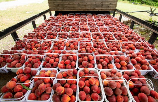 Peaches from Keith Wise's Chilton County peach farm near Clanton, Ala., are ready for delivery on Wednesday May 20, 2020.