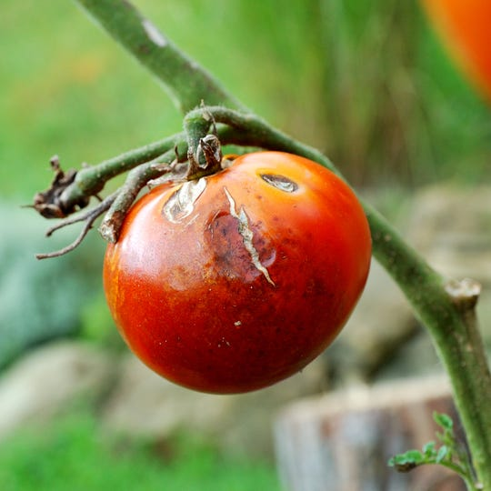 This tomato has blight.