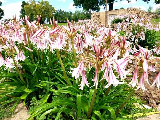Crinum lilies are shown at the Sunken Garden Park in San Angelo.