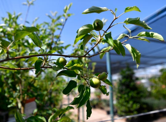 Apples grow on a trees for sale at Mankin and Sons Gardens May 22 in Abilene.