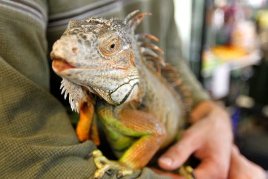 Ivan, a green iguana, is one of several reptiles that lives at the South Texas Botanical Gardens and Nature Center.