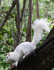 Bloomfield Hills resident Meredith Meyer captured this image of a rare white squirrel in her backyard on May 20, 2020.