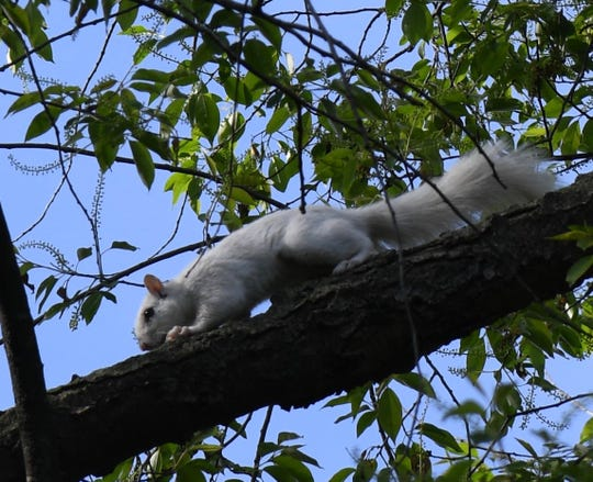 This rare white squirrel has dark eyes, not the reddish or pink eyes characteristic of even more rare albino squirrels. Photographed on May 20, 2020 in Bloomfield Township by Meredith Meyer.