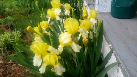 This early yellow iris grew from a piece of rhizome dropped unnoticed along the porch where it receives no direct rain. It is significantly more vigorous than the same plant growing in a moister part of the same garden.