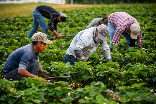 H-2A workers in Green Acres Berry Farm in Milan, Tenn., are working tirelessly picking strawberries for the consumers in West Tennssee, Wednesday, May 21, 2020.