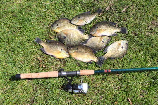 Eight bluegills caught from a channel of Lake Monona in Madison will make a good meal. Anglers can help improve panfish populations by practicing selective harvest, including releasing most of the biggest bluegills and deliberately keeping less than the daily limit.