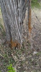 Rust-colored growth at the base of this tree in Rio Arriba County is lichen, and it's not causing any damage to the tree.