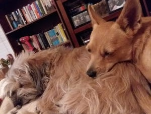 Dewy and George sleep on the job while Jenny Dagnino, behavior manager at the Arizona Humane Society, works from home.
