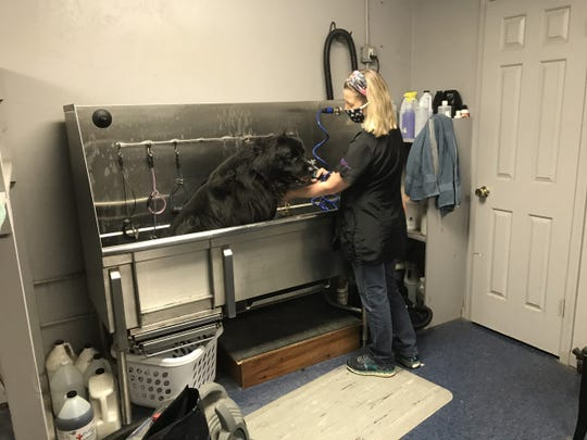 Dog groomer Trudy Doll tends to her first customer in more than two months, a Newfoundland named Kong. Her business had been closed since March because of the COVID-19 pandemic, and she reopened Friday as York County entered the 'yellow' phase. (Mike Argento/York Daily Record/Sunday News)