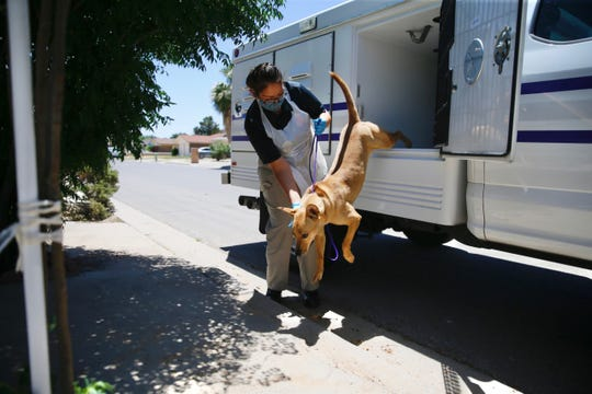Animal Protection Officer Frances Vasquez helps Socorro, a 3- or 4-year-old mutt, out of the truck during a contactless adoption Friday, May 22, 2020, in El Paso.