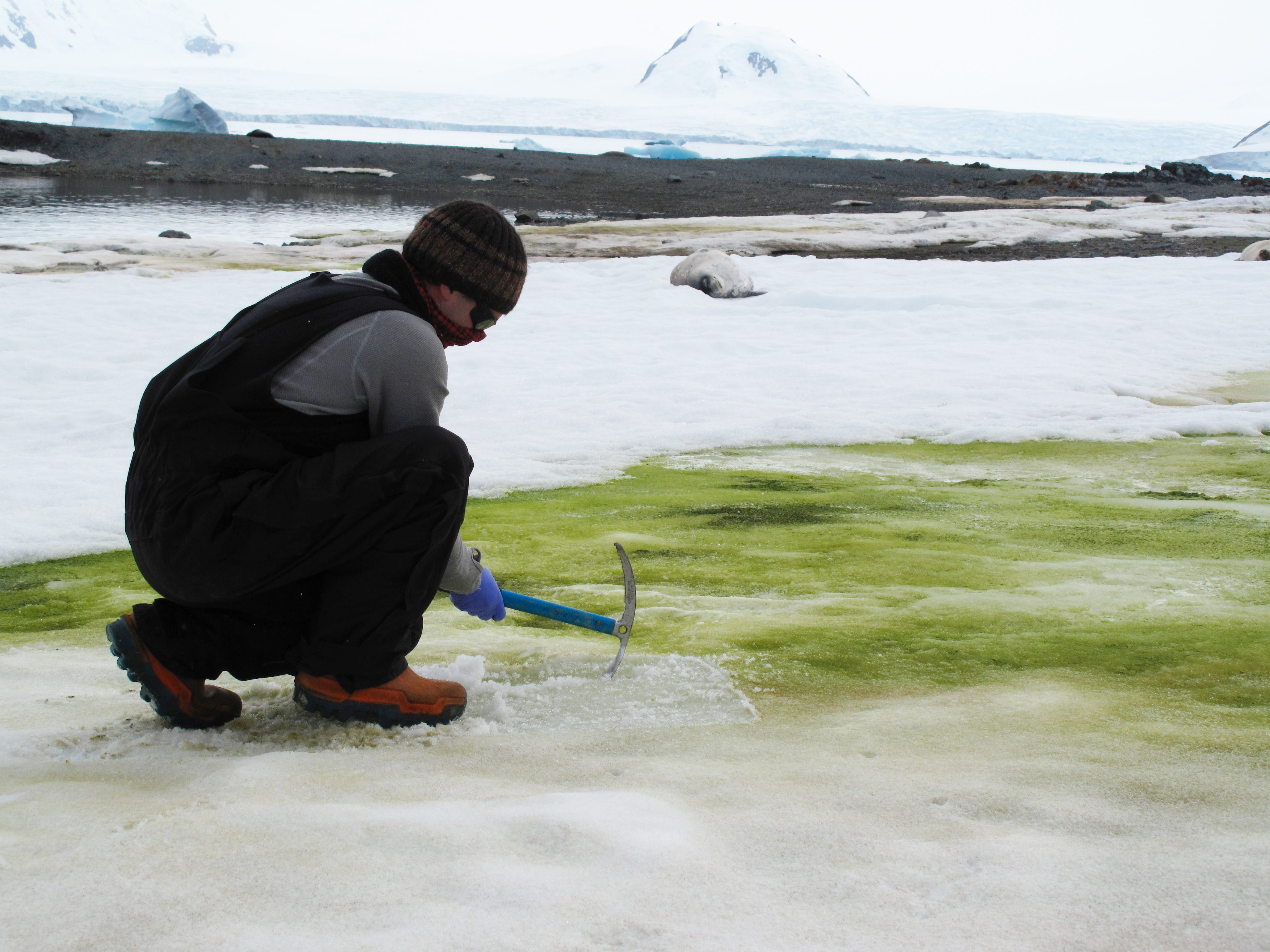 Climate change is turning the snow in Antarctica bright green. Scientists are able to see it from space.