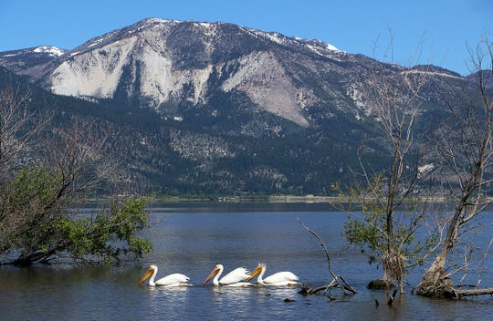 Three American While Pelicans are seen at Washoe Lake south of Reno on a sunny Saturday morning, May 23, 2020.