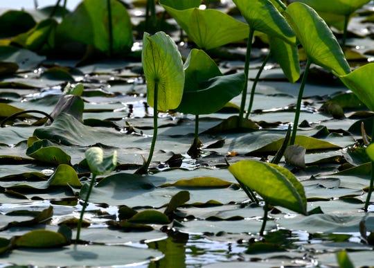Water lilies turn toward the sun as the day wanes Saturday at Lake Fort Phantom Hill May 23, 2020.
