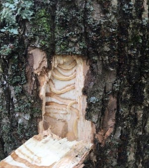 Since its discovery in the U.S. 18 years ago, the Emerald Ash Borer has caused the death and decline of tens of millions of ash trees.