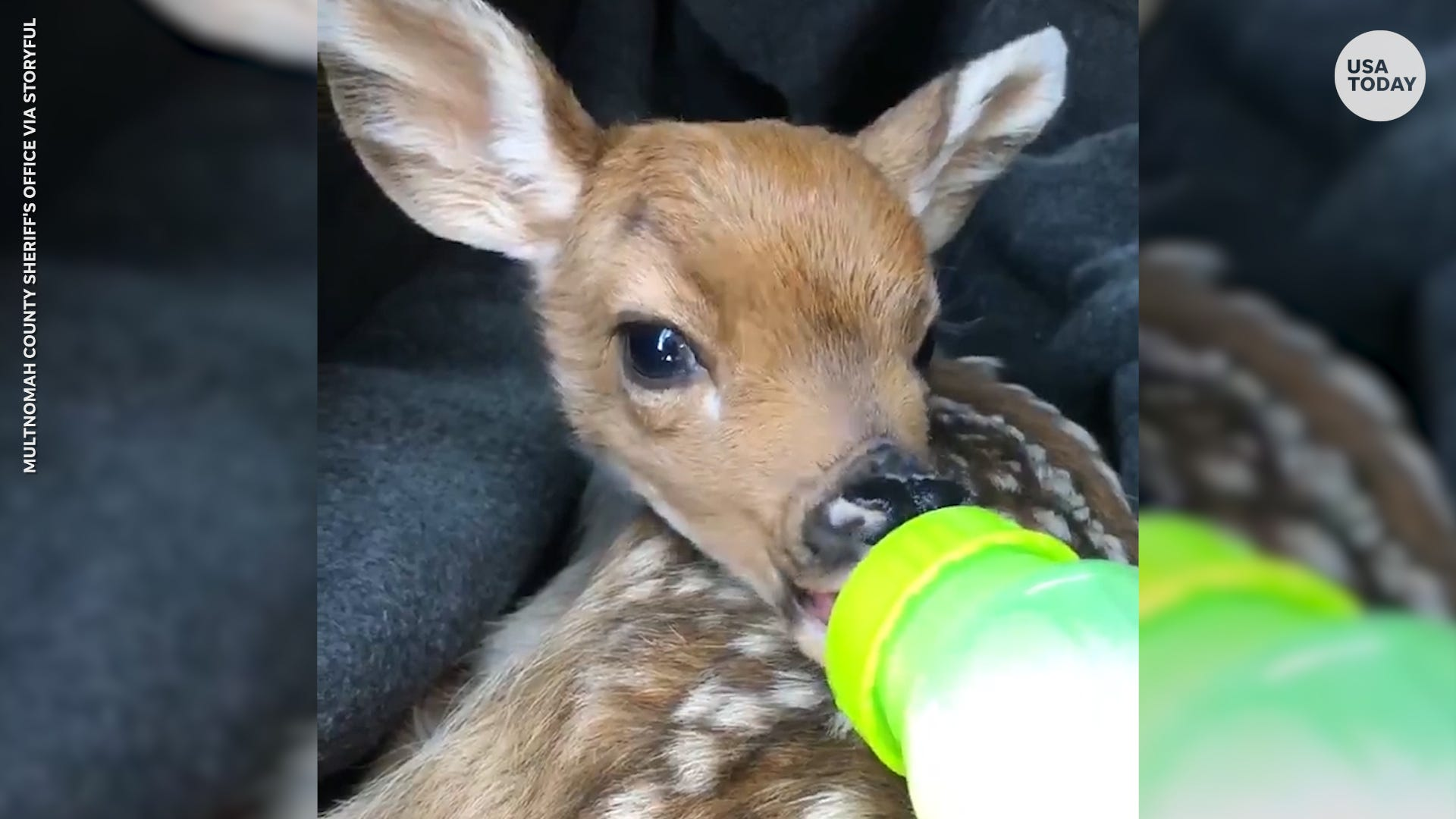 Orphaned baby deer bottle-fed by sheriff s deputy finds new home