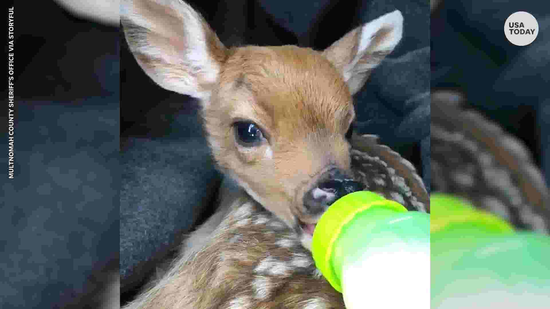 Orphaned baby deer bottle-fed by sheriff's deputy finds new home
