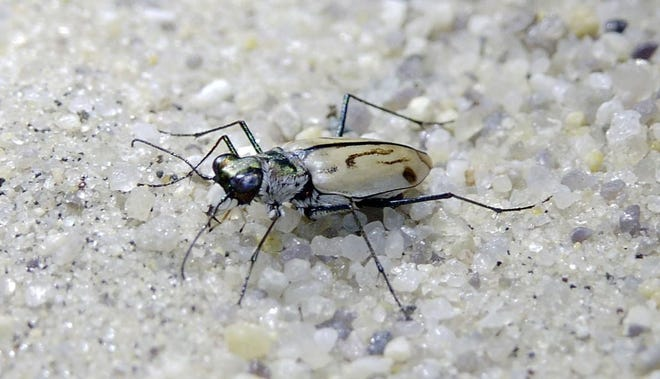 The U.S. Fish and Wildlife Service is trying to reestablish tiger beetles at Sandy Hook.