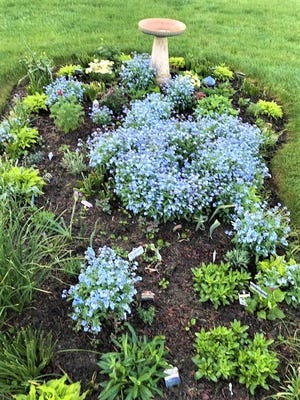 One year ago, one forget-me-not plant  went into this lavender bed. This week the 24- plus plants flowed with the familiar light blue color.