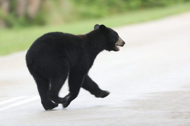 A black bear similar to this one was spotted Monday in two south Lee County communities