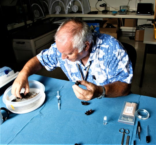 University of Guam entomologist Aubrey Moore feeds a solution containing the naturally occurring insect virus OrNV to coconut rhinoceros beetles in 2009. Researchers learned the Guam coconut rhinoceros beetle is a different biotype.