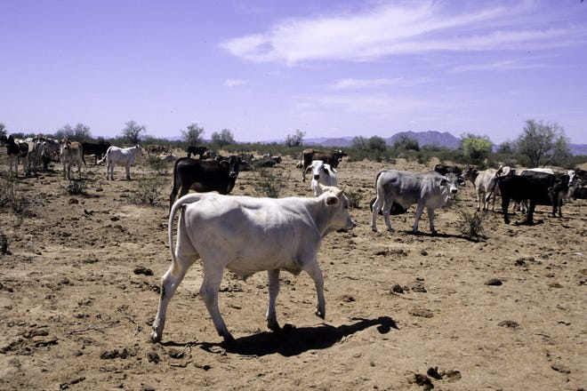 Cows on an over-grazed and sparsely vegetated allotment on the Sonoran Desert National Monument before a court order forced most cattle off monument.