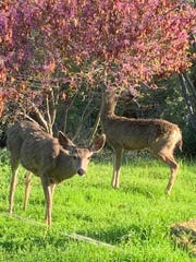 Two deer with scruffy coats graze in Mariposa County.