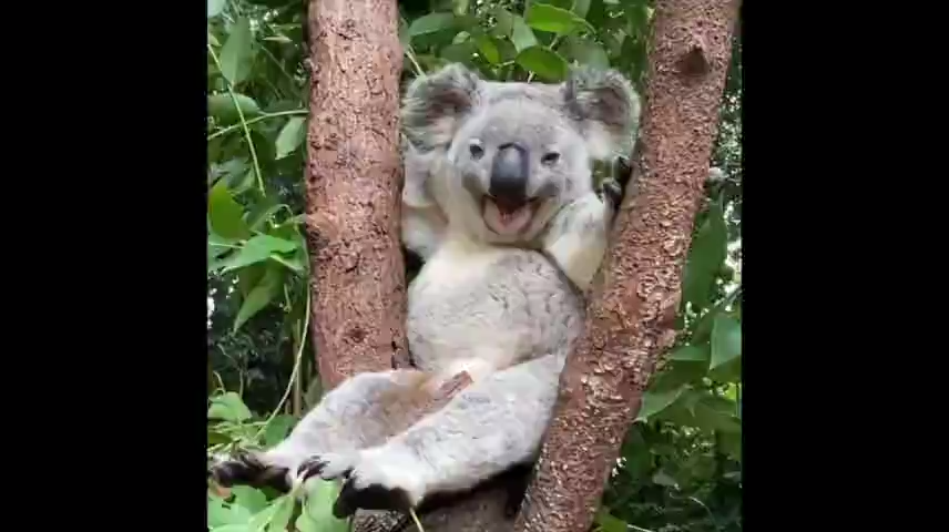Hey sleepy head : Adorable koala yawns and chills in tree