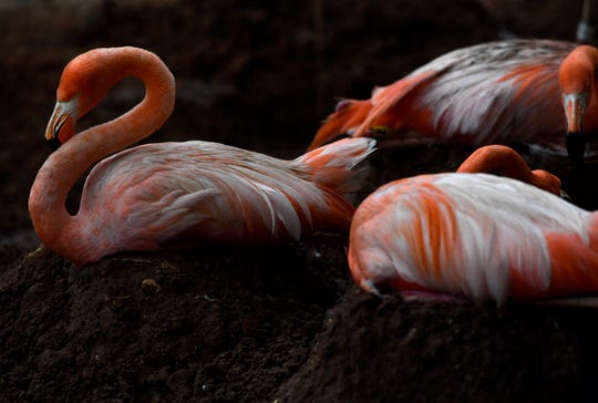 Caribbean flamingos sit on their nests Thursday at the Abilene Zoo. Eggs were observed beneath several birds, of which the incubation period is between 27 and 31 days.