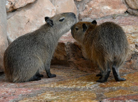 A pair of capybaras nuzzle each other Thursday at the Abilene Zoo. The world's largest rodents, when fully grown they will stand up to 2 feet tall and weigh between 70 and 150 pounds.