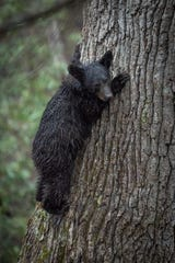 Images of bears in the Smokies by Joye Ardyn Durham