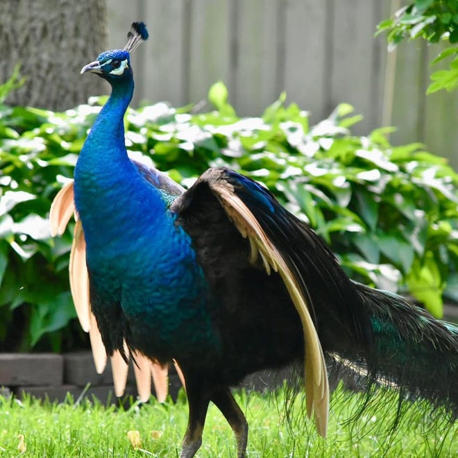 Indy S Peacock Captured We Are Told A Peahen Is Waiting For Him