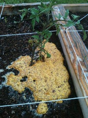 Slime mold at base of a tomato plant grown in a raised bed.