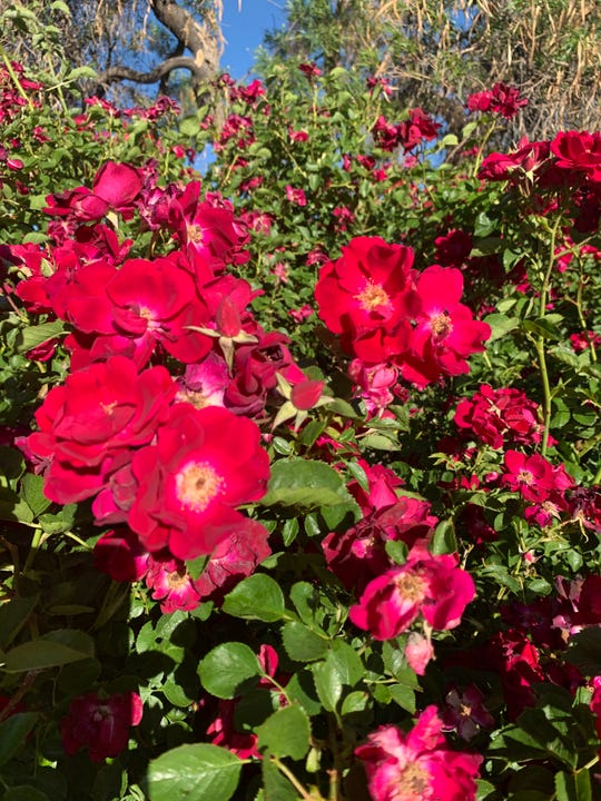 Dr. Huey hybrid rose just barely past peak bloom at the Albuquerque Rose Garden on May 13, 2020. Dr. Huey happens to be the rootstock to which most roses grown in the U.S. are grafted.