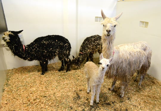 Alpacas rescued from a ranch in Falls City being treated at Oregon State University's College of Veterinary Medicine in Corvallis on Thursday, Feb. 13, 2014.