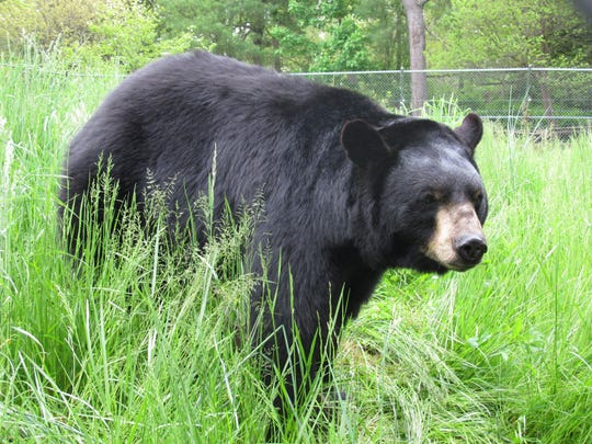 Bears are one of the many species that will be out in spring months looking for food.