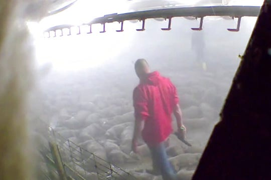 This image taken from a May 19, 2020, video provided by Direct Action Everywhere, shows workers in Grundy County, Iowa, walking among carcasses and using bolt guns to kill pigs that remain alive after they had been exposed to heat in an effort to euthanize the animals.
