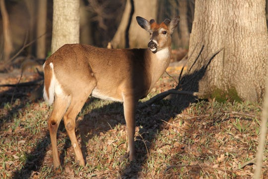 A white-tailed deer forages on new plant growth in spring 2020. The 2019-20 winter was moderate across most of Wisconsin and the state's deer herd largely came through in good shape, according to state wildlife biologists.