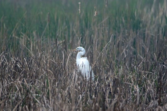 An egret sits among the tall foliage at the Ottawa National Wildlife Refuge.