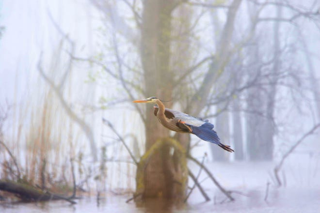 A great blue heron flies through the fog along the high water at the Ottawa National Wildlife Refuge.
