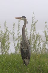 A great blue heron sits among the tall grass at the Ottawa National Wildlife Refuge.