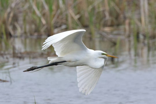 An egret takes off along the water at the Ottawa National Wildlife Refuge.